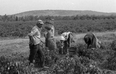 winebees_(πηγή: Νίκος Θεοδοσίου)