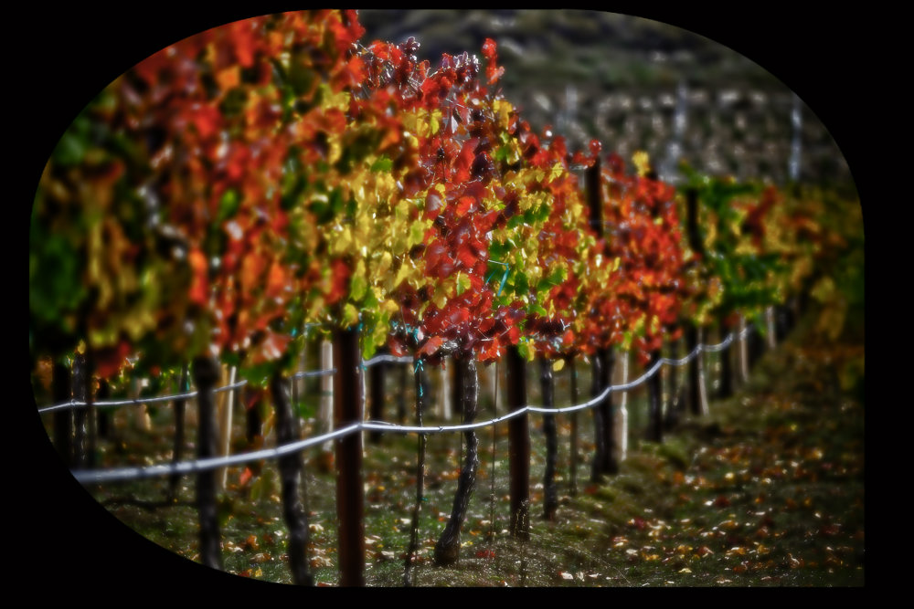 winebees_Harvest-Vineyard