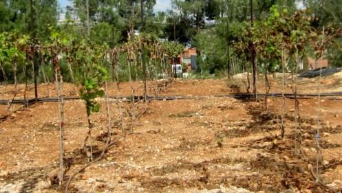 wine-grapes-in-Ariel_ Ben SalesJTA